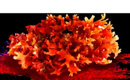 Экстракт водоросли литотамниум